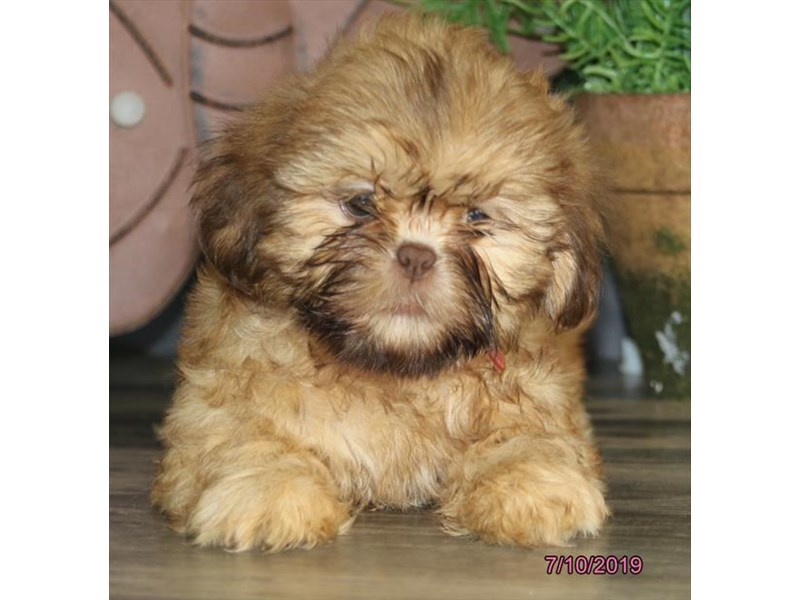 Shih Tzu-Female-Chocolate-2404579-Petland Naperville