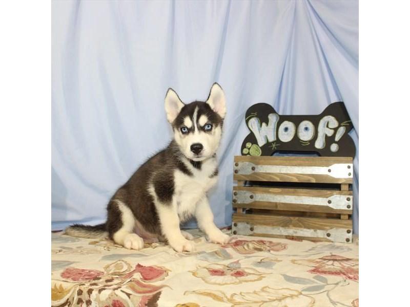 Siberian Husky-DOG-Male-Black / White-2404860-Petland Naperville