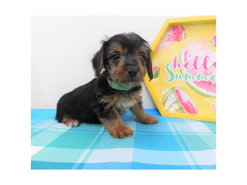Yorkshire Terrier-DOG-Female-Black / Tan-2404863-Petland Naperville