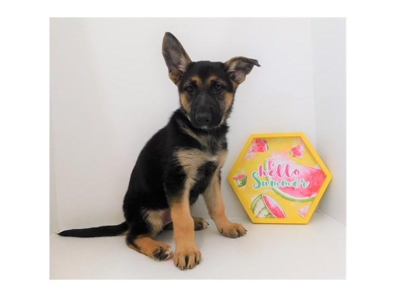 German Shepherd Dog-DOG-Female-Black / Tan-2404866-Petland Naperville