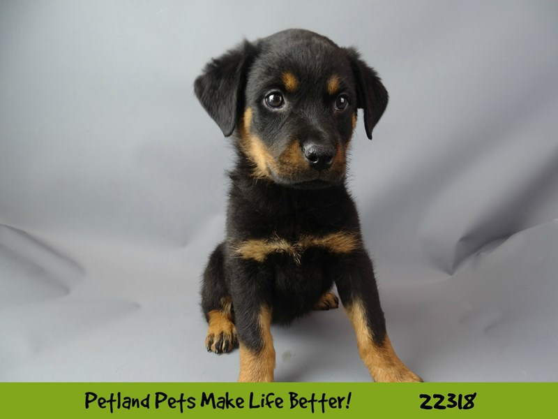 Rottweiler-DOG-Female-black & tan-2404242-Petland Naperville