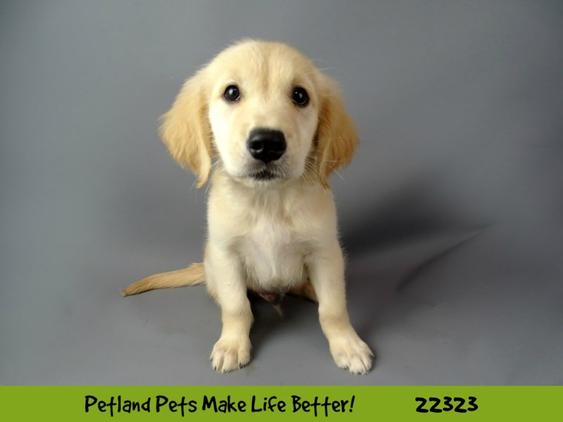 Golden Retriever-Male-Golden-2404396-Petland Naperville