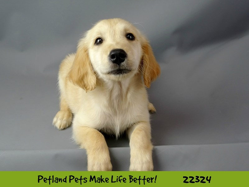 Golden Retriever-DOG-Female-Golden-2404451-Petland Naperville