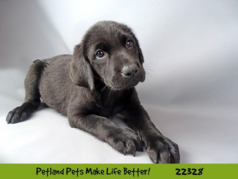 Labrador Retriever-DOG-Female-Black-2404671-Petland Naperville