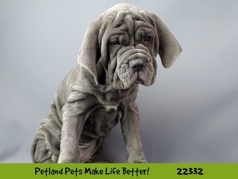 Neapolitan Mastiff-DOG-Female-Blue-2404576-Petland Naperville