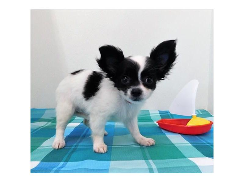 Chihuahua-Female-Black / White-2410880-Petland Naperville