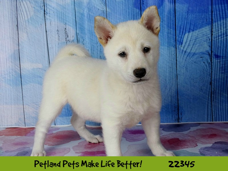 Shiba Inu-DOG-Female-Cream-2410584-Petland Naperville