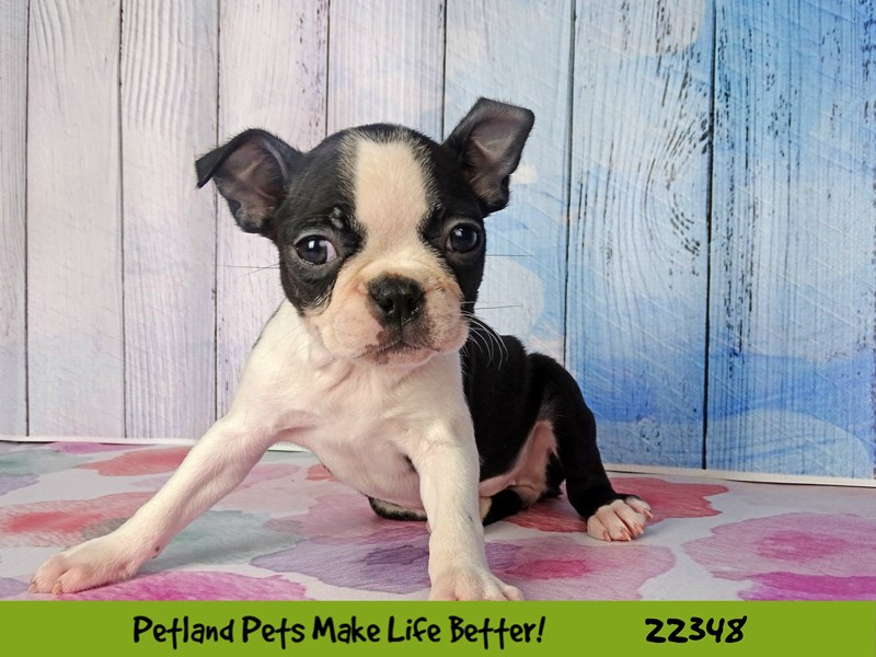 Boston Terrier-DOG-Female-Black and White-2410752-Petland Naperville
