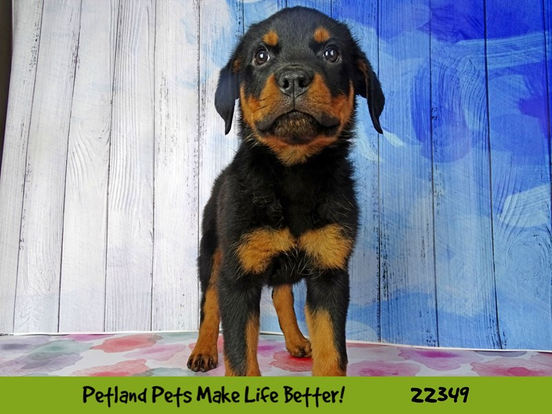 Rottweiler-Female-Black and Tan-2410783-Petland Naperville