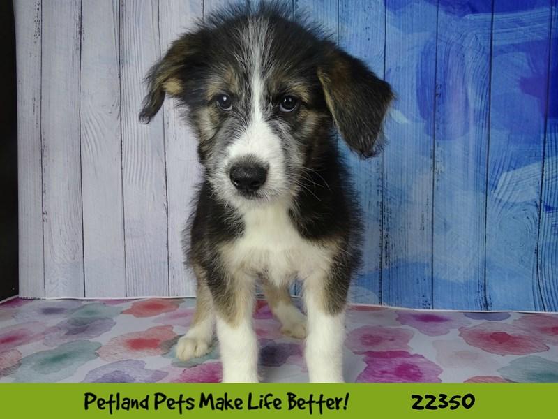 Siberian Husky/Standard Poodle-DOG-Male-black and white-2410815-Petland Naperville