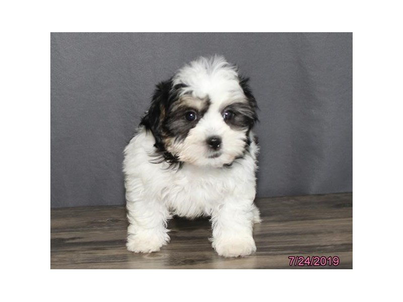 Teddy Bear-Female-Black / White-2417166-Petland Naperville