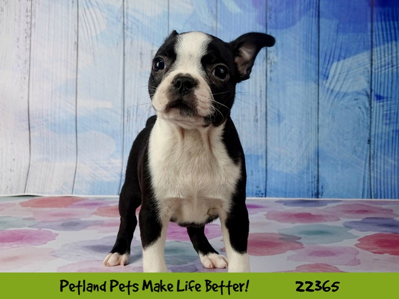 Boston Terrier-Female-blk/wht-2416702-Petland Naperville