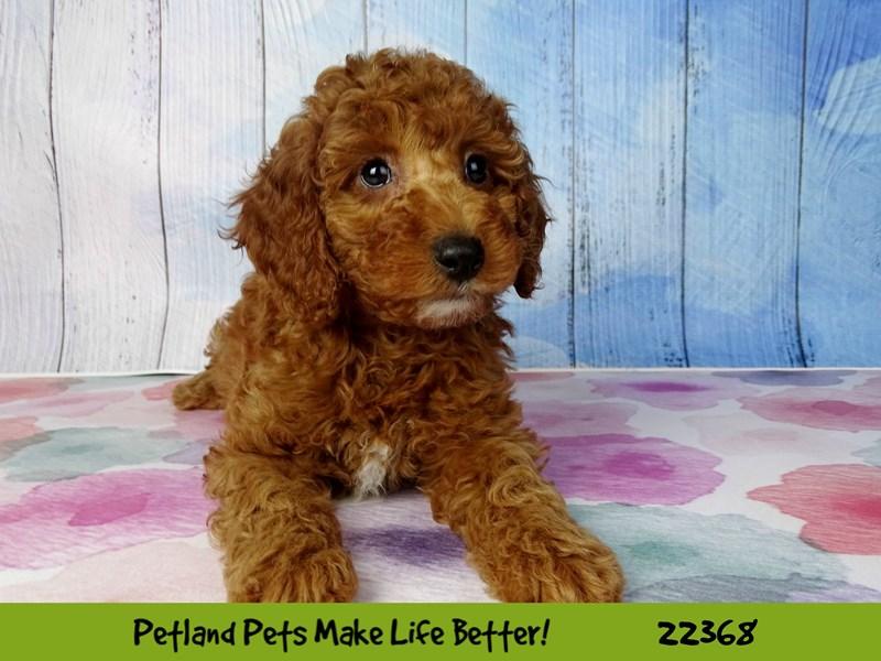 2nd Generation Mini Goldendoodle-DOG-Female-Red-2416801-Petland Naperville