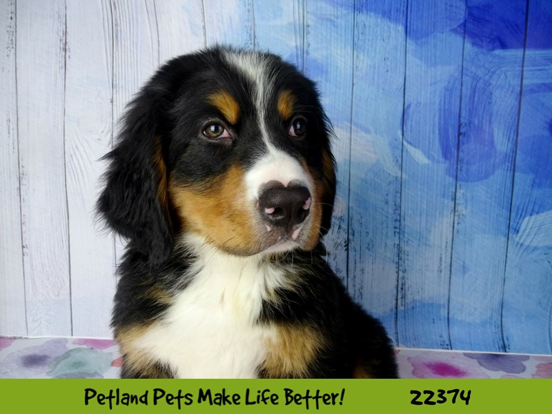 Bernese Mountain Dog-Male-Black Tri-2416957-Petland Naperville