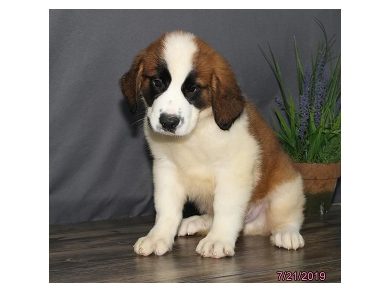 Saint Bernard-Male-Brown / White-2422848-Petland Naperville