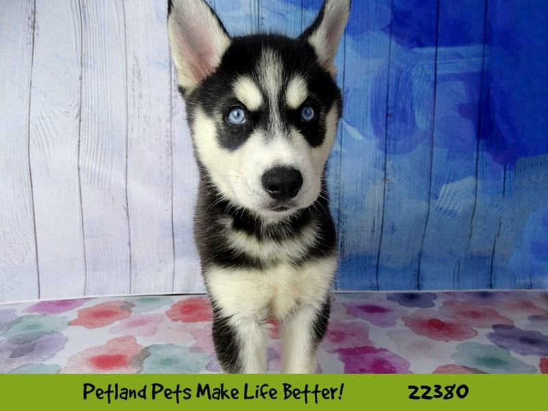 Siberian Husky-DOG-Female-Black/White-2422602-Petland Naperville