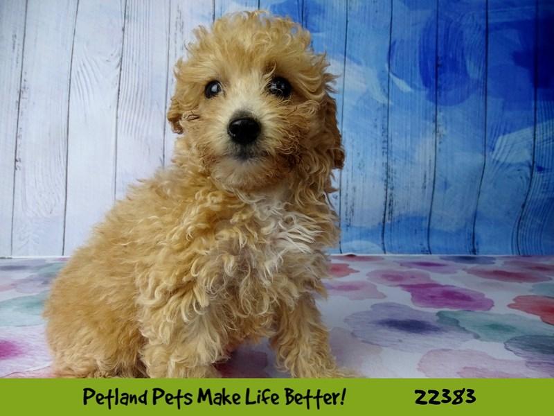 Poodle-Female-Apricot-2422661-Petland Naperville