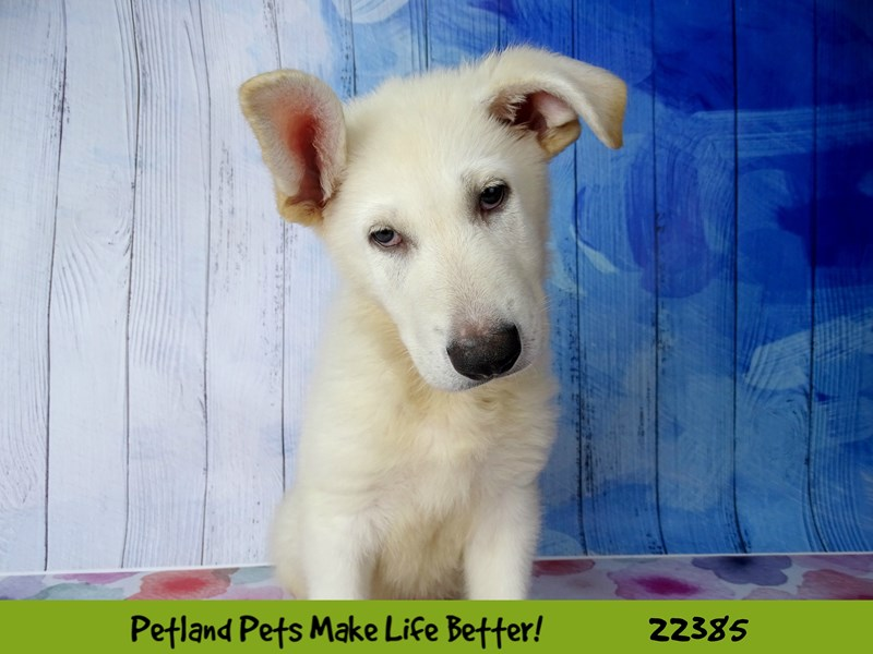 German Shepherd-Male-White-2422736-Petland Naperville