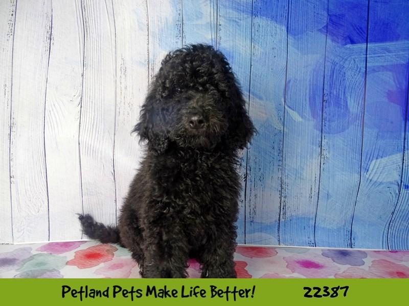 2nd Generation Goldendoodle-DOG-Male-black-2422875-Petland Naperville