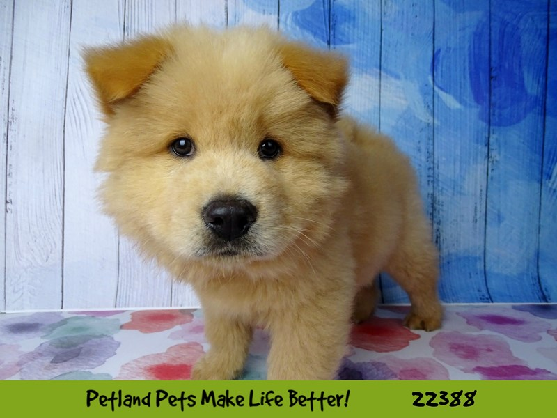 Chow Chow-Male-Red-2422902-Petland Naperville