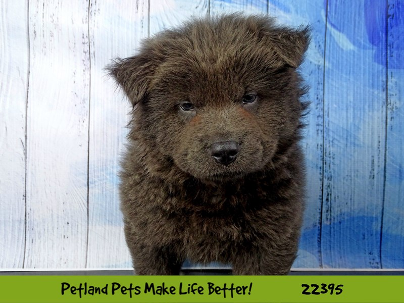 Chow Chow-Male-Blue-2428377-Petland Naperville