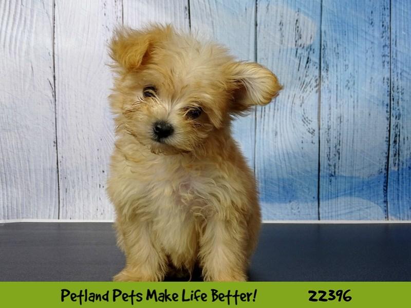 Pomeranian/Poodle-DOG-Male-Apricot-2428405-Petland Naperville