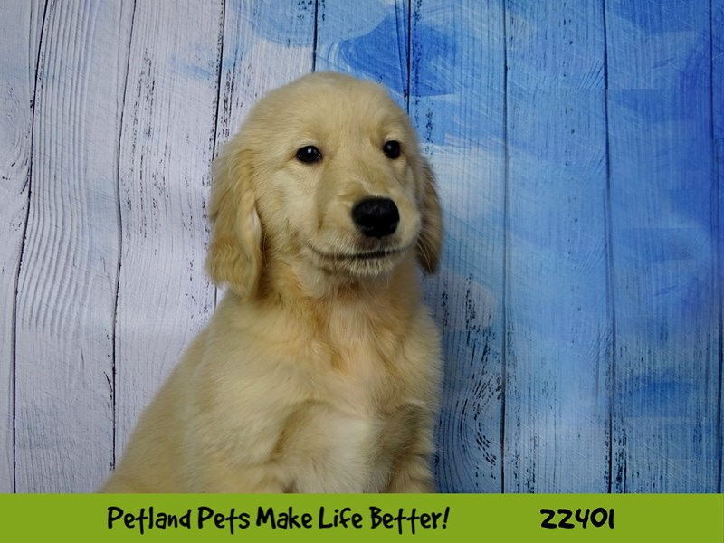 Golden Retriever-Male-golden-2428858-Petland Naperville