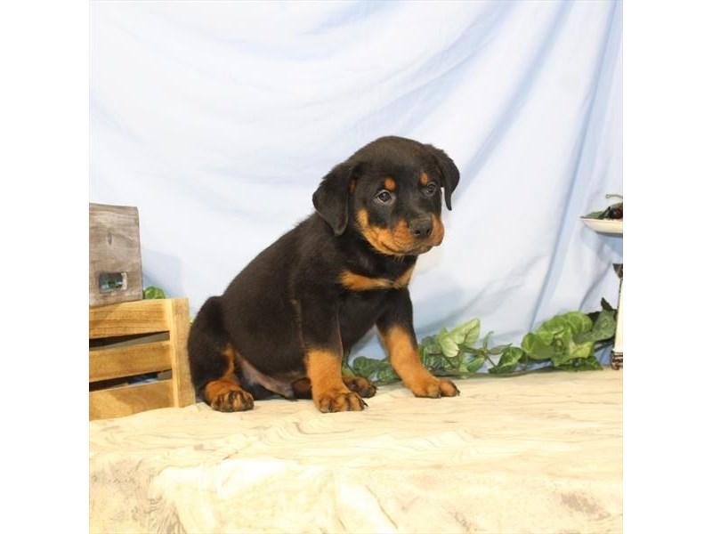 Rottweiler-Male-Black / Tan-2435337-Petland Naperville