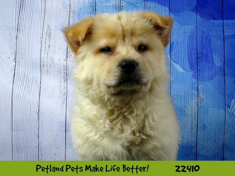 Chow Chow-DOG-Female-cream-2434803-Petland Naperville