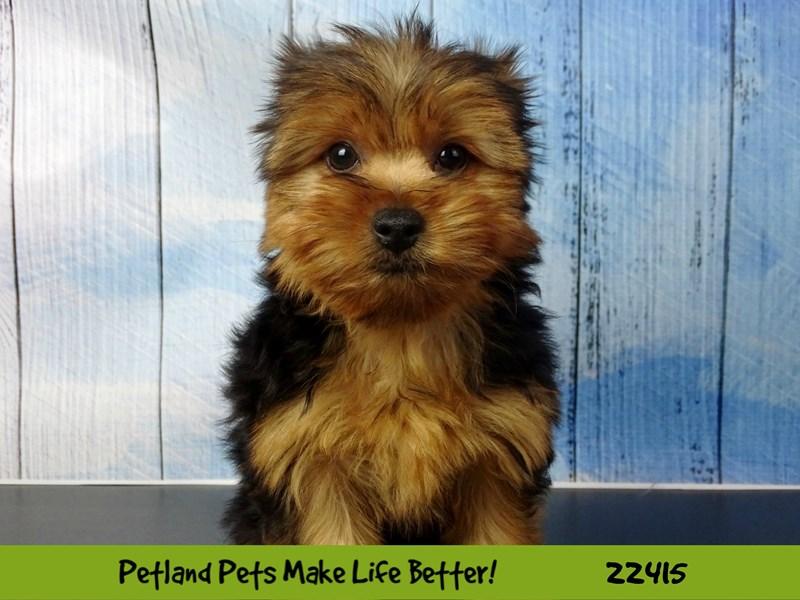 Yorkshire Terrier-Male-Black & Tan-2435107-Petland Naperville
