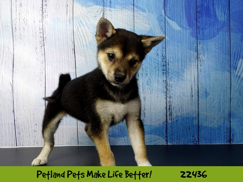 Shiba Inu-DOG-Female-Black and Tan-2441188-Petland Naperville