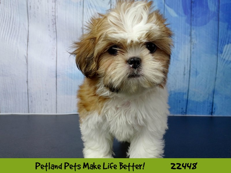 Shih Tzu-DOG-Female-Gold / White-2442822-Petland Naperville