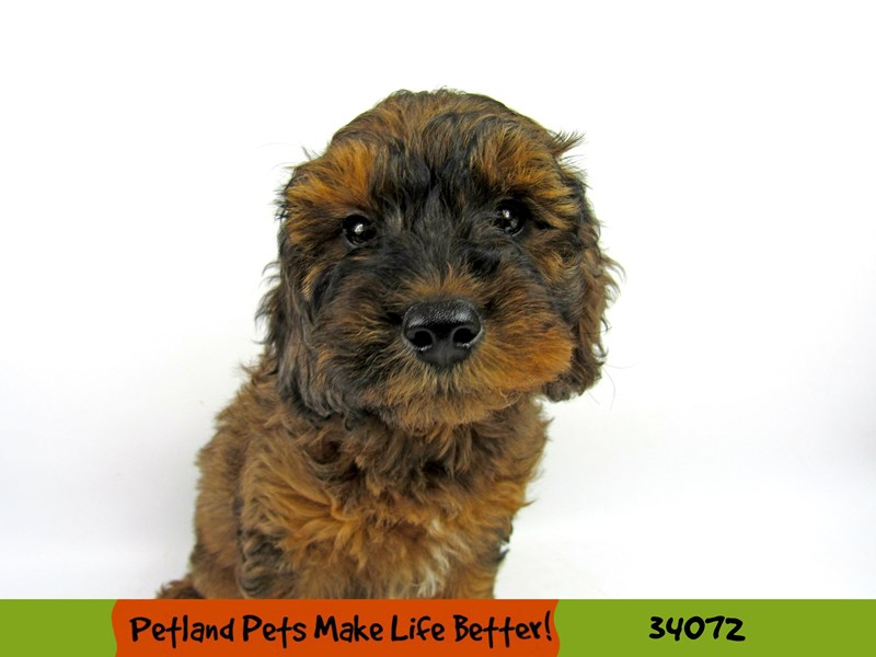 Mini Goldendoodle-DOG-Male-Chocolate Merle-2393122-Petland Naperville
