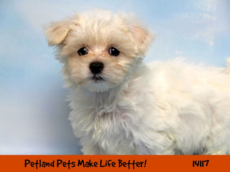 Maltese-DOG-Male-White-2397765-Petland Naperville
