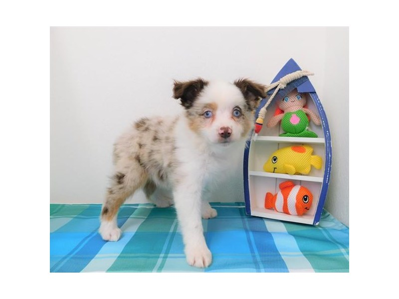 Miniature American Shepherd-DOG-Male-Red Merle-2404865-Petland Naperville
