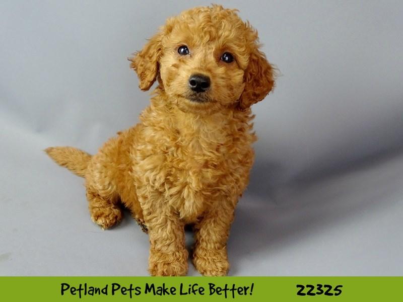 Golden Retriever/Miniature Poodle-DOG-Female-Red-2404487-Petland Naperville