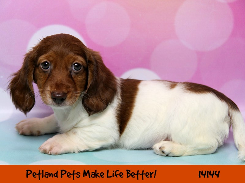 Dachshund-Male-Red / Tan-2403639-Petland Naperville