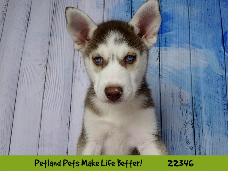 Siberian Husky-Male-Red & White-2410653-Petland Naperville