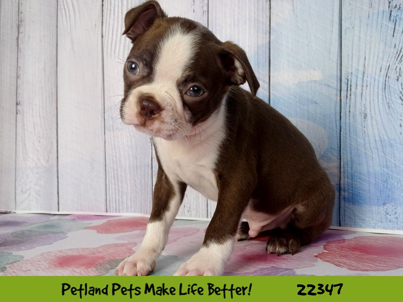 Boston Terrier-DOG-Male-seal and white-2410701-Petland Naperville