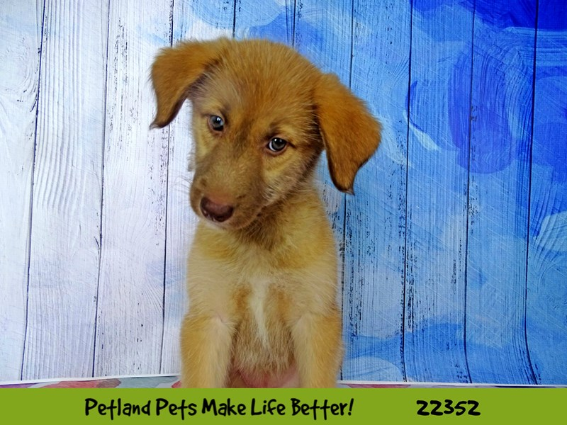 Siberian Husky/Standard Poodle-DOG-Female-sable and white-2410845-Petland Naperville