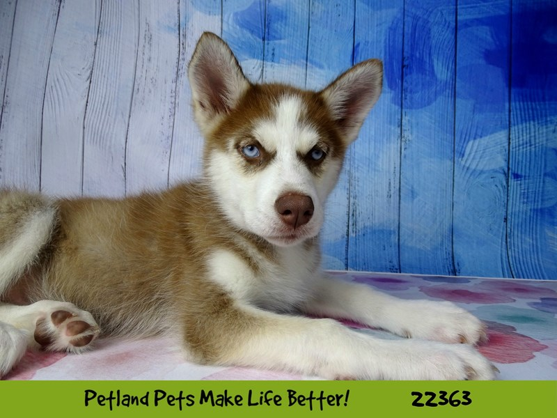 Siberian Husky-Female-Red and White-2416192-Petland Naperville