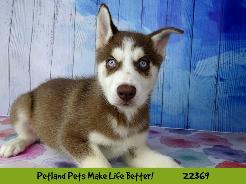 Siberian Husky-DOG-Male-Red and White-2416830-Petland Naperville