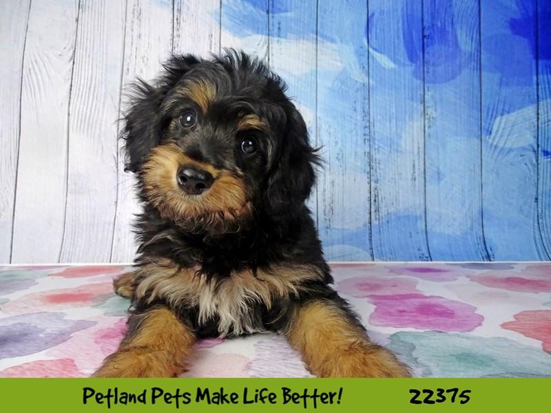 Mini Aussie Poo-DOG-Male-Black Tri-2416995-Petland Naperville
