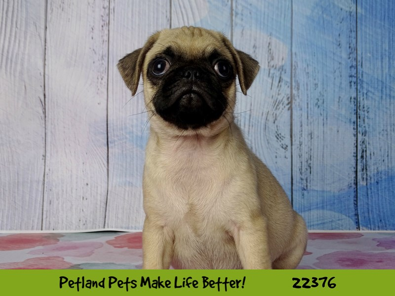 Pug-DOG-Female-Fawn-2417063-Petland Naperville