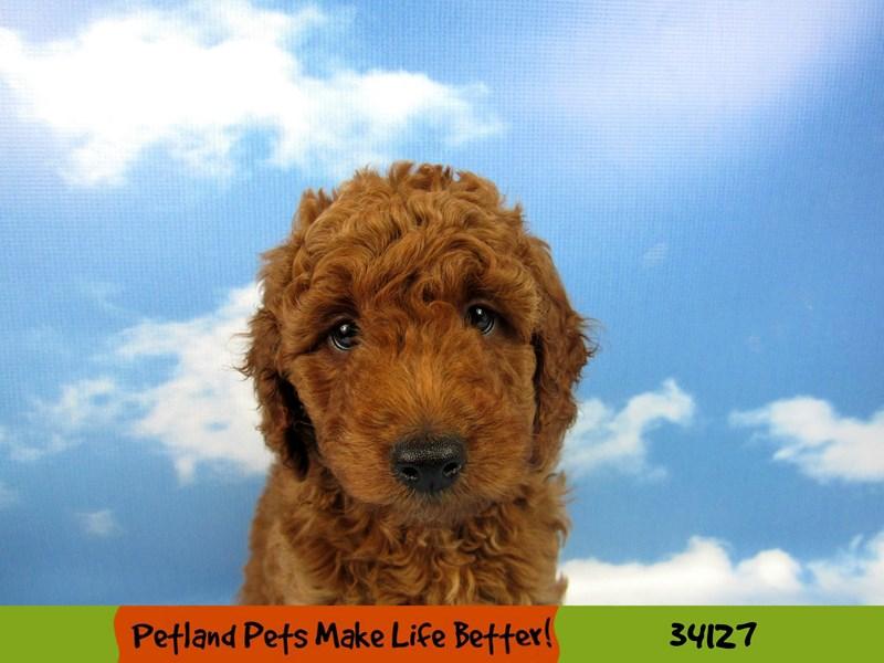 Mini Goldendoodle 2nd Gen.-DOG-Male-Red-2417415-Petland Naperville