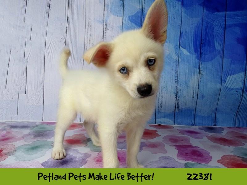 Pomeranian/Siberian Husky-DOG-Male-Cream-2422618-Petland Naperville