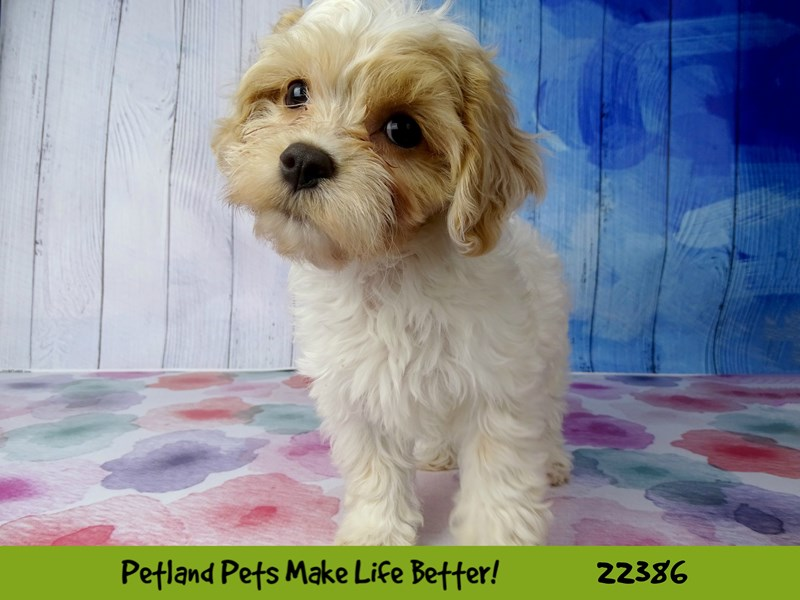 Poodle/Cavalier King Charles Spaniel-DOG-Male-Red & White-2422800-Petland Naperville