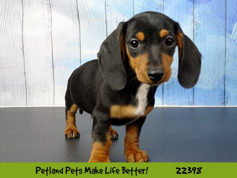 Dachshund-Male-black and tan-2428626-Petland Naperville