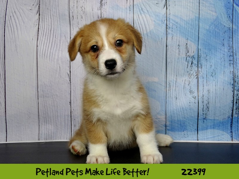 Pembroke Welsh Corgi-Female-red & white-2428670-Petland Naperville