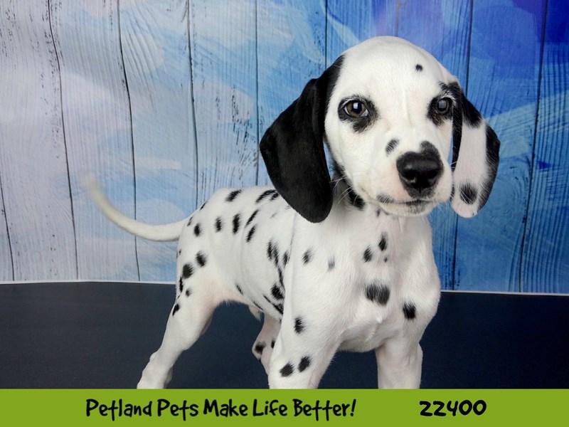 Dalmatian-DOG-Male-balck & white-2428768-Petland Naperville